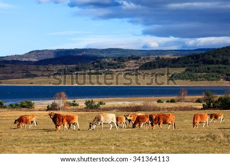 herd of cows near high mountain lake in bulgarian Rhodope mountains - stock photo