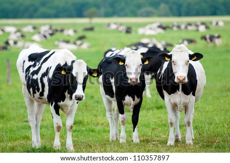 herd of cows on the pasture - stock photo