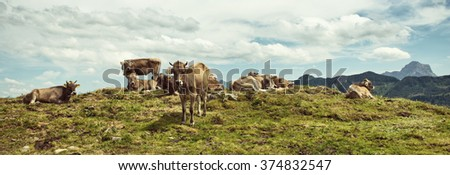 Herd of cows resting on an alpine hilltop with one standing facing the camera and distant mountain peaks in the background in a scenic landscape - stock photo