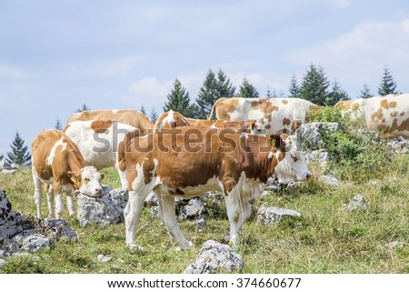Herd of cows with calf grazing on an alpine pasture - stock photo