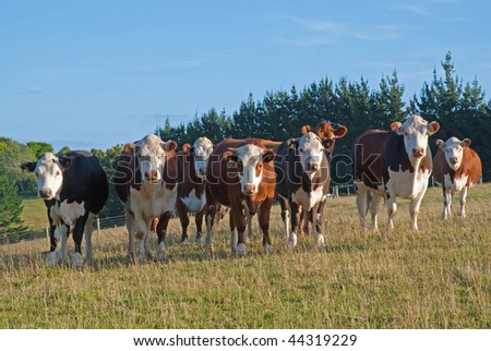 herd of curious cows - stock photo