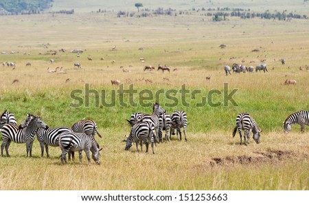 herd of different animals in the savannah in east africa - national park masai mara in kenya - stock photo