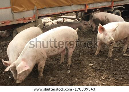 herd of domestic pigs - stock photo