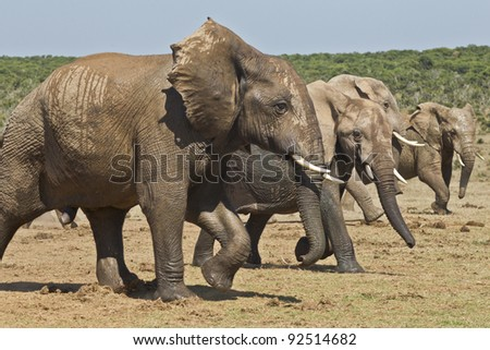 Herd of elephant enjoying some exercise on a hot summers day - stock photo
