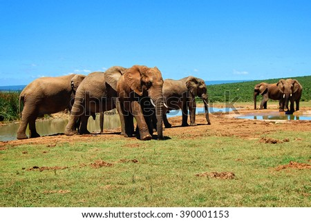 Herd of elephants at a watering hole. Amazing african wildlife. Elephant family in african expanses. Sweet memories of travel to Africa & South African safari. Postcard. Wild animals in National Parks - stock photo