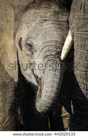 Herd of elephants drinking water from river, Kruger National Park - stock photo