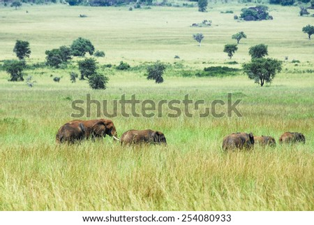 Herd of elephants, Kidepo Valley National Park (Uganda) - stock photo