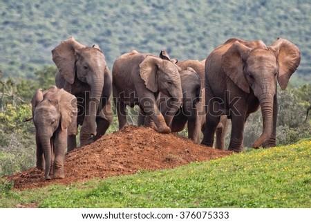 herd of elephants near a waterhole at addo elephant park south africa - stock photo