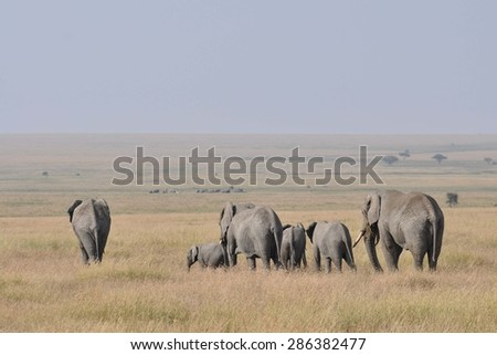 Herd of elephants walking away and seen from the back - stock photo