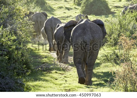 Herd of elephants walking slowly up a hill into the morning sun to look for water - stock photo