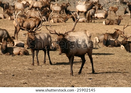 Herd of elk with two large bucks in front - stock photo