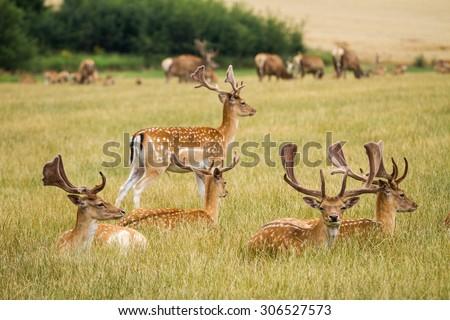 Herd Of Fallow Deer - stock photo