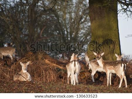 Herd of fallow deer in forest landscape - stock photo