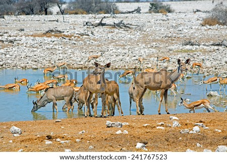 herd of Female Kudu next to a waterhole in Etosha National Park with springbok - stock photo