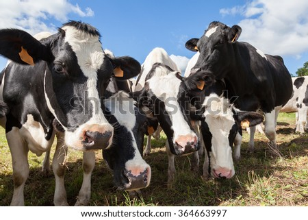 Herd of friendly black and white  Holstein dairy cows or cattle pushing their heads close to the camera  as they stand in a farm pasture - stock photo