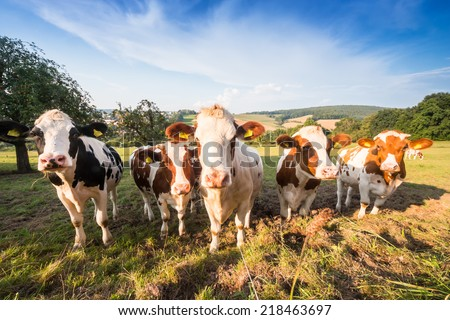 herd of german Fleckvieh and Schwarzbunte cows on a green meadow in the Odenwald, Germany - stock photo