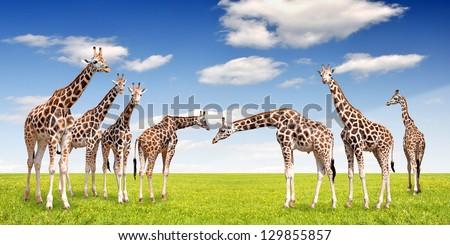 herd of giraffes - stock photo
