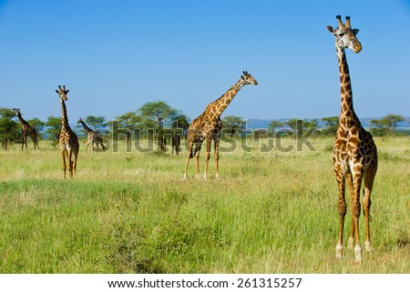 Herd of Giraffes in Serengeti - stock photo