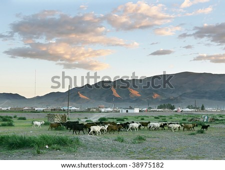 Herd of goats  in the mongolian village at sunset - stock photo