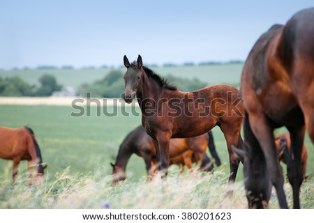 Herd of horses grazing in a field with tall grass on a background of cloudy sky. Among mares foal is standing and looking into the distance - stock photo