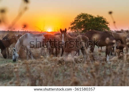 Herd of horses resting after a run in the pasture. Magical sunset in the background. - stock photo