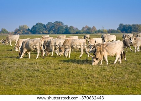 Herd of hungarian grey steppe cattle grazing on meadow. Hortobagy - stock photo