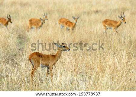 Herd of impala feeding in African Murchison Falls National Park, Uganda  - stock photo
