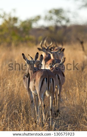 Herd of impala walking along road in the grass - stock photo