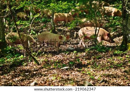 Herd of italian pigs eating acorns of oaks in the forest - stock photo