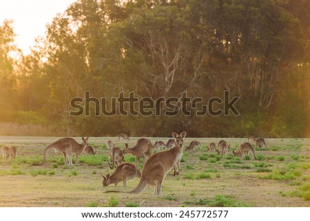 Herd of kangaroos at twilight (Coombabah Lake, QLD, Australia) - stock photo