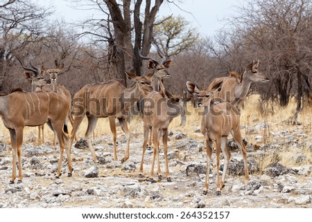 herd of Kudu in african savanna, Etosha national Park, Ombika, Kunene, Namibia. True wildlife photography - stock photo