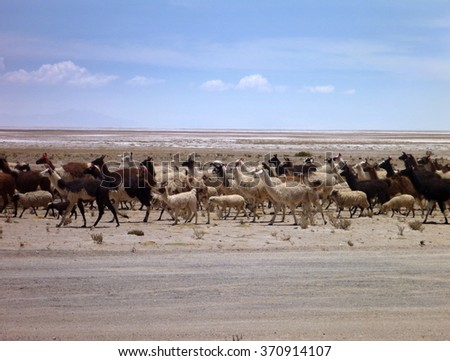 herd of llamas at altiplano desert in bolivia - stock photo