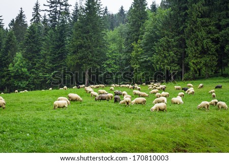 Herd of mountain sheep on the hill - stock photo