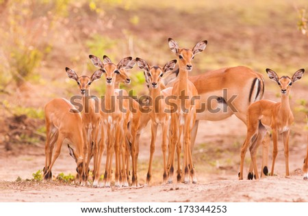 Herd of newborn baby impala - stock photo