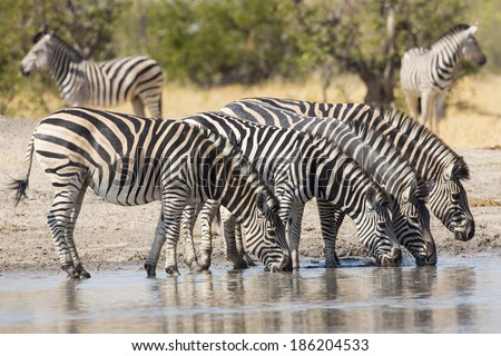 Herd of Plains Zebra drinking at the water's edge in South Africa - stock photo