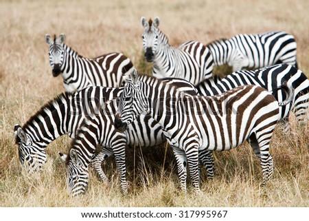 Herd of plains zebras grazing together on grasslands of African savanna, seasonally migrating for food. Wildlife observation and conservation, tourist safari, animal migration concept.  - stock photo