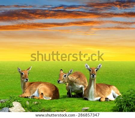 Herd of Red lechwe antelope at sunset - stock photo