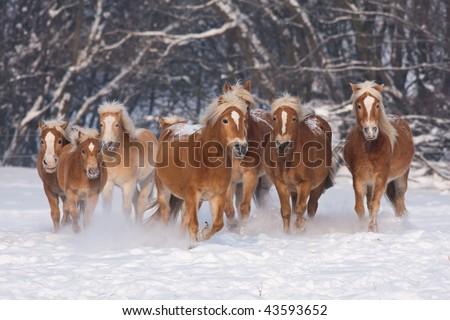 Herd of running haflinger horses in the winter - stock photo