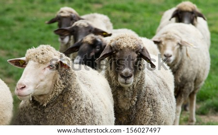 Herd of sheep stand on grass field - stock photo