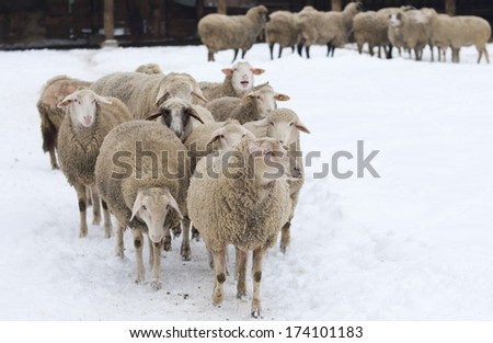 Herd of sheep standing on snow on farmland - stock photo