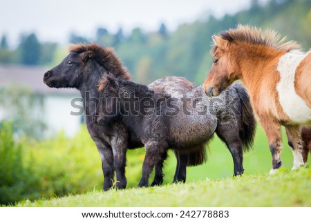 Herd of Shetland ponies on the hill in autumn background. - stock photo