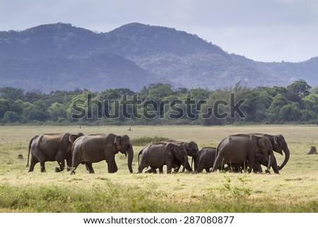 Herd of Sri lankan elephant in Minneriya ; subspecie Elephas maximux maximus - stock photo