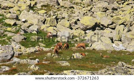 Herd of steinboks, High Tatras Mountains, Slovakia - stock photo