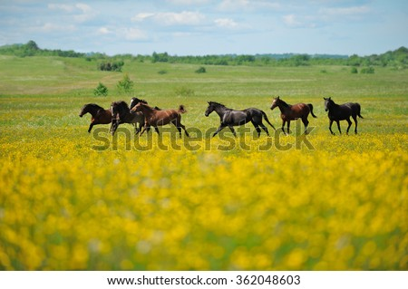 Herd of the running horses in the field - stock photo