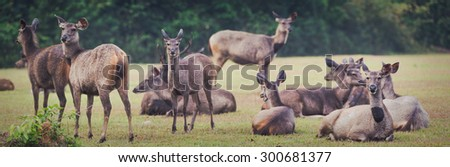 Herd of the Sambar deers. Panorama, focus on deer on far right - stock photo