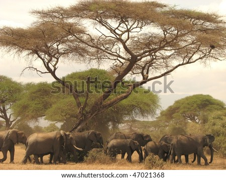 Herd of wild elephants in Kenya's Amboseli national park - stock photo