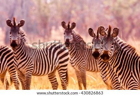 Herd of wild zebra in the African savannah - stock photo