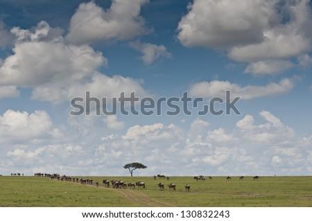 Herd of wildebeests in Masai Mara National Park in Kenya - stock photo