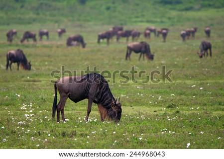 Herd of wildebeests is grazing in Ngorongoro crater, Tanzania - stock photo