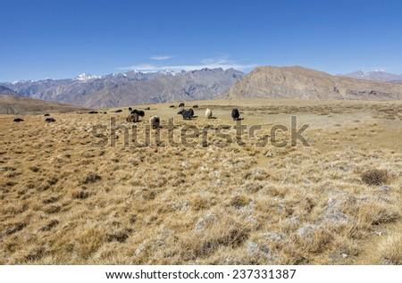 herd of yak in Alpine meadow - stock photo